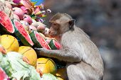pic of monkeys  - Monkey is feeding itself in the annual feast held for monkeys in Lopburi Thailand - JPG
