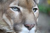 stock photo of vicious  - Puma With Green Eye Posing While Resting - JPG