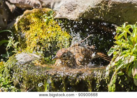 Mistle thrush having bath