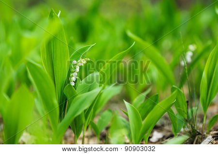 Blossoming Lilies-of-the-valley In Forest