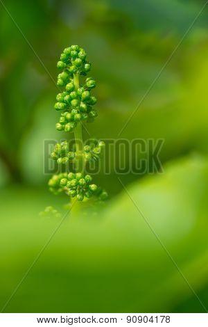 Vine Grape and Leaf in spring-Vineyard