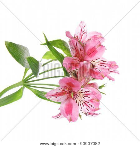 Beautiful alstroemeria isolated on white