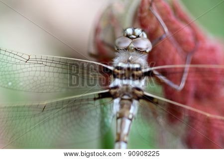 Dragonfly, Didymops Transvera, Stream Cruiser Perched On Red Leaf Plant