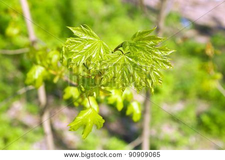 Green leaves on twigs in spring close up