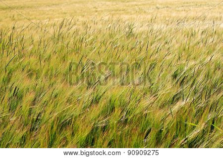 Green Field Of Barley Crop Texture