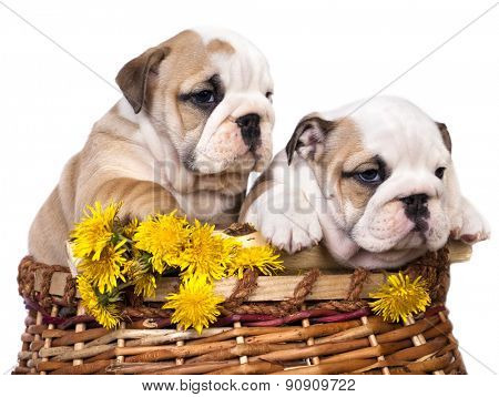 English bulldog puppy in a basket with dandelions