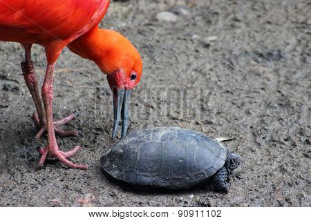Red Ibis Playing With A Turtle
