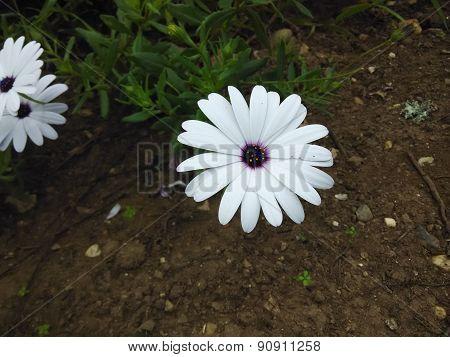 Flor blanca con centro morado