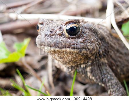 Common Toad Close-up