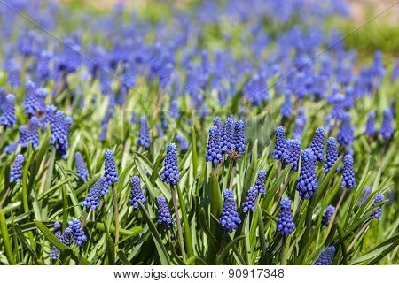 Blue Flowers Muscari
