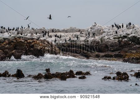 Cormorants And African Penguins On Dyer Island