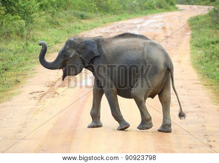 young elephant crossing road in Sri Lanka