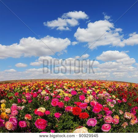 Spring flowering garden large buttercups - ranunculus. Flowers are grown for export in the Nordic countries