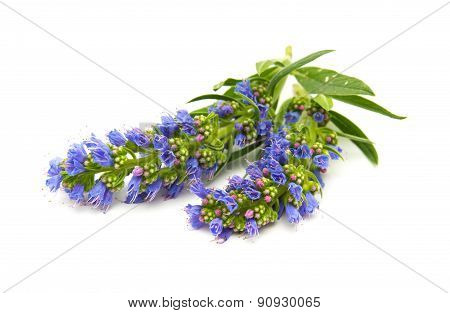Echium Callithyrsum, Blue Bugloss Of Gran Canaria