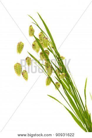 Briza, Quacking Grass