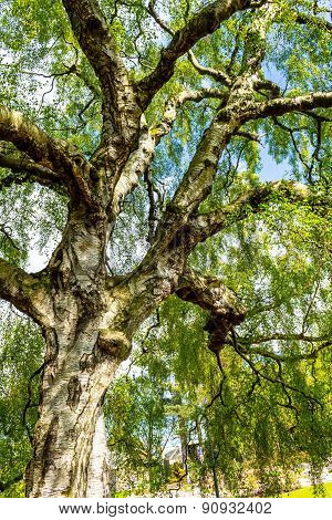 An Old Birch Tree With Long Branches In Spring Time.