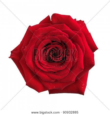 Big red rose single flower isolated on white background with clipping path