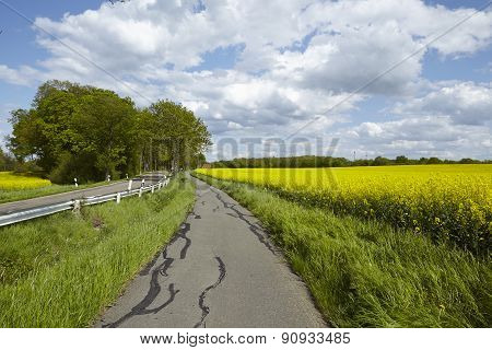 Bike Lane With Trees And A Blossoming, Yellow Colza Field