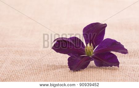 Purple Clematis flower on simple burlap background with copy space