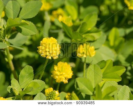 Trifolium aureum, Golden Clover flower in spring sunshine