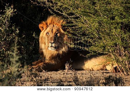 Big male African lion (Panthera leo) in natural habitat, South Africa
