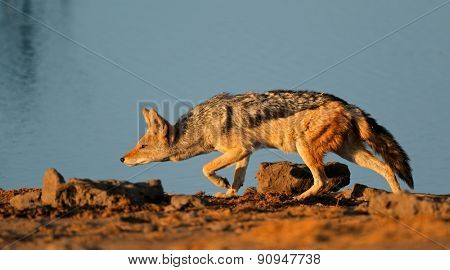 A black-backed Jackal (Canis mesomelas) stalking, Etosha National Park, Namibia