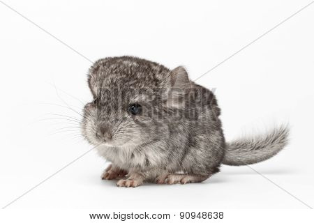 Gray Baby Chinchilla In Profile View On White