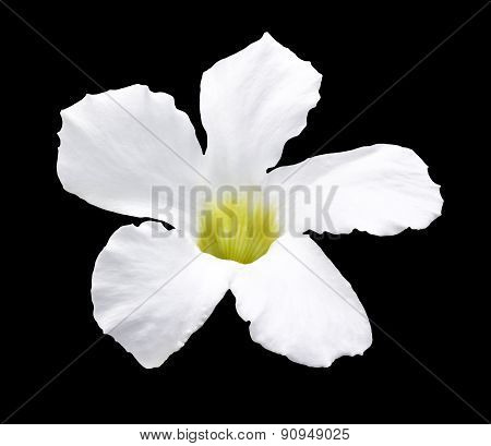 White Flower Isolated