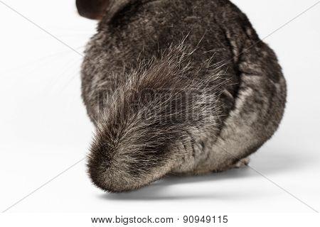 Tail Of Gray Chinchilla On White