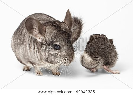 Big And Little Chinchilla On White