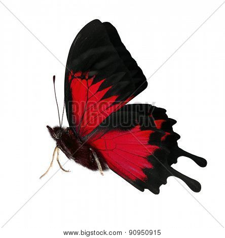 macro photo of red butterfly isolated on white background