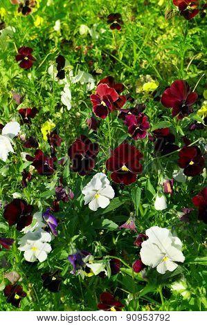 Flowers Pansy In Garden