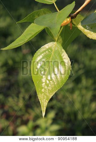 Spring. Young glutinous poplar leaf