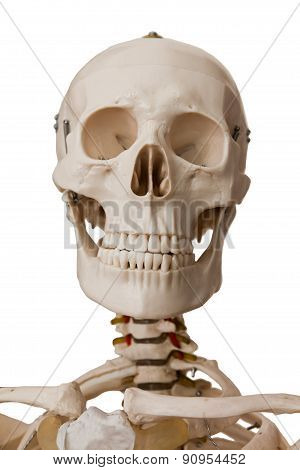 Human Skeleton, Isolated On White Background