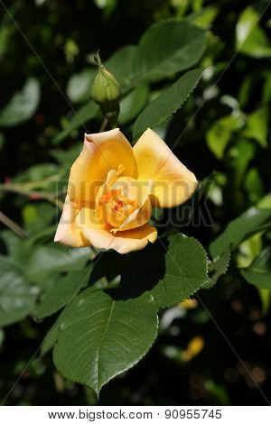 Isolated Yellow Rose Just Blossomed In May