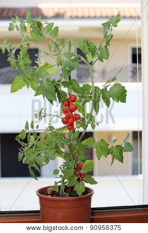 Plant Of Tomatoes In The Balcony Of A House