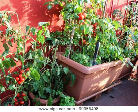 Ripe Tomatoes And Green Plant In The Terrace Of House