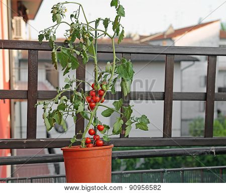 Red Tomato Plant On The Terrace Of A House In The Town