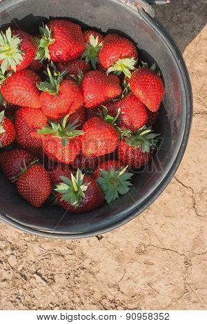 Fresh Ripe Strawberry In Bucket.