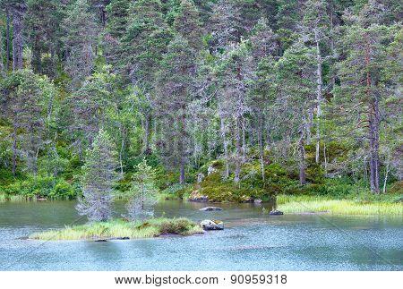 Summer Fir Forest On Shore.