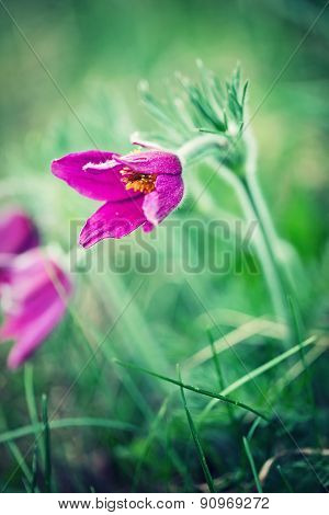 Spring Flower. Pasque Flower - Pulsatilla Patens, Flower Sleep - Grass