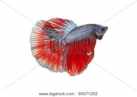 Siamese Fighting Fish , Betta