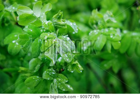 Fresh Green Leaves With Drops Of Rain