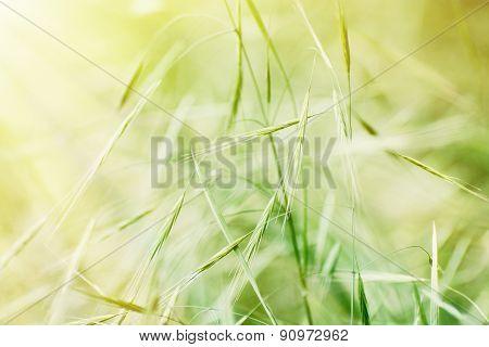 Field Of Grain In Sun Rays