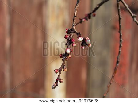 Unopened Flowers Cherry On A Wooden Background