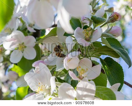 A Bee Pollinates A Flower Apple