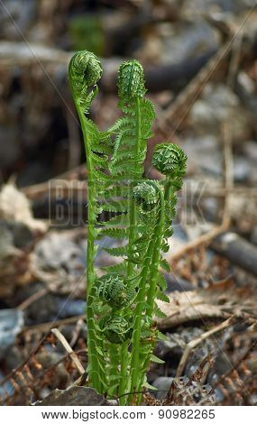 Fresh Fern Shoots In The Spring.