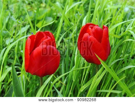 Twoo Red Tulips In Green Grass