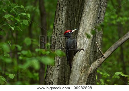 Black Woodpecker  In The Spring Forest.