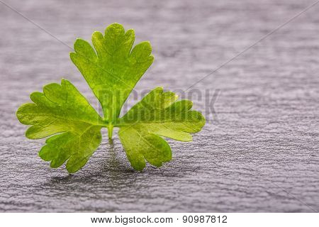 Parsley Top . Parsley twig. Fresh parsley top on granite board.